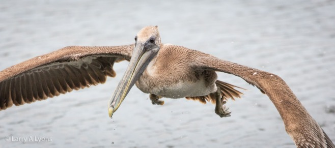 Brown Pelican Inflight