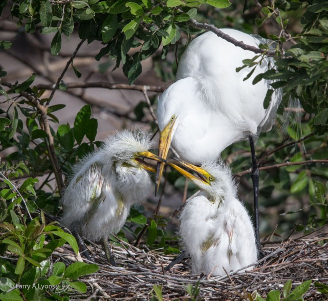 Great Egret Siblings