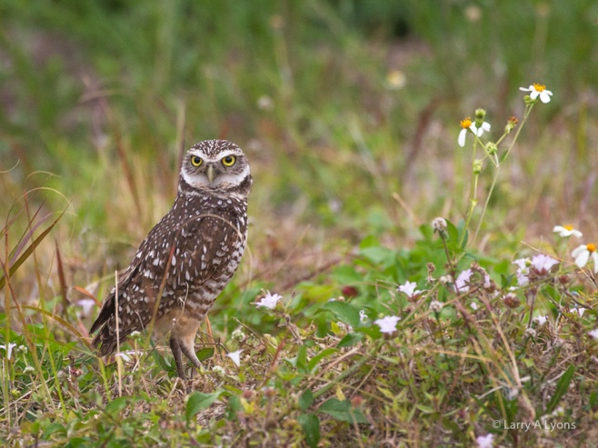 Burrowing Owl On The Prowl