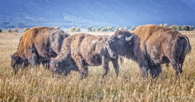 'Bison Grazing' © Larry A Lyons
