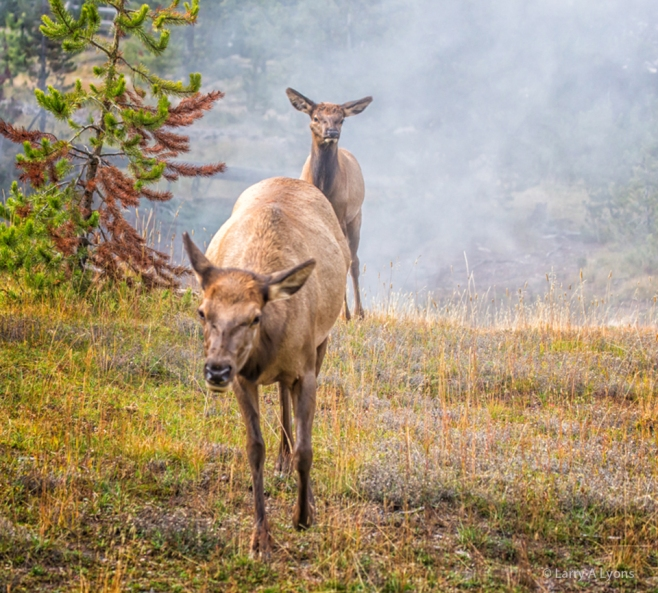 Female Elk and Calf