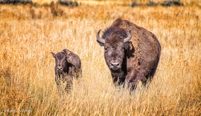 'Mother and Calf Bison' © Larry A Lyons
