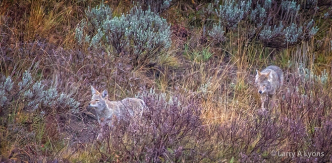 prowling Coyotes