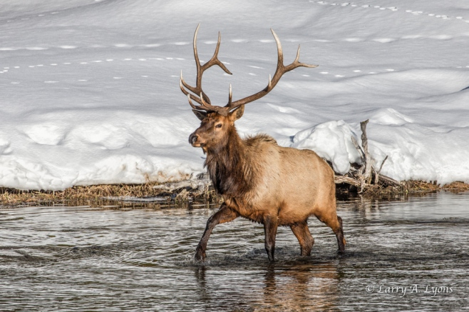 Bull Elk- A Cold Water Stroll